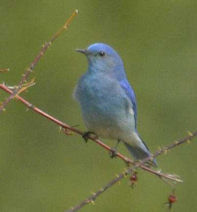 Mountain bluebird (male)