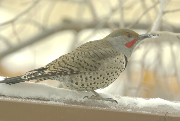 Northern flicker (red-shafted) (male)