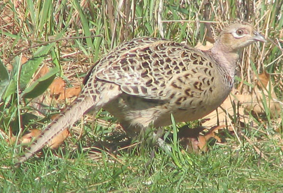 Ring-necked pheasant (female)