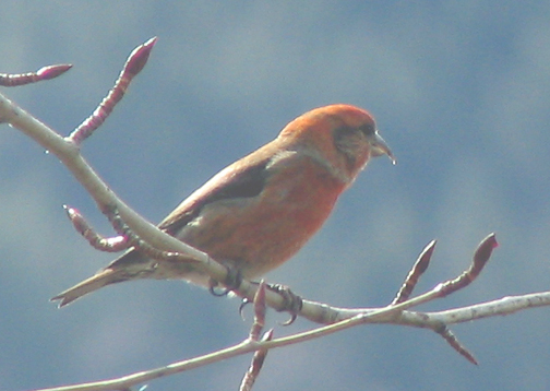Red crossbill (male)