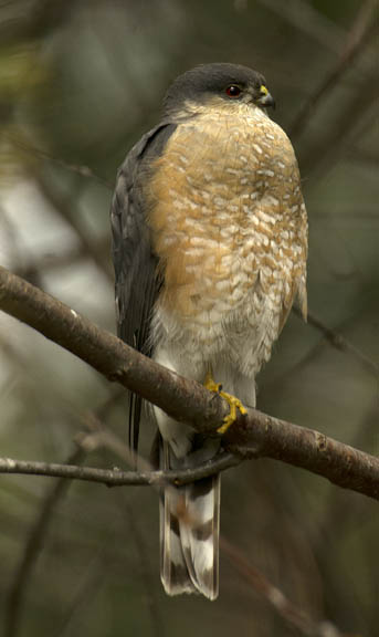 Sharp-shinned hawk (adult)