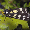 Ranchland tiger moth