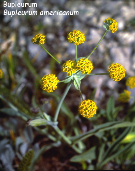 Bupleurum Americanum American Thorough Wax