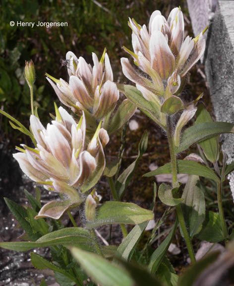 Castilleja occidentalis x rhexifolia