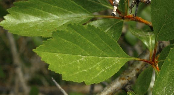 Image result for columbia hawthorn tree leaves