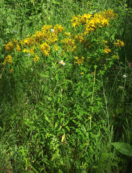 Hypericum perforatum common st john s wort goatweed