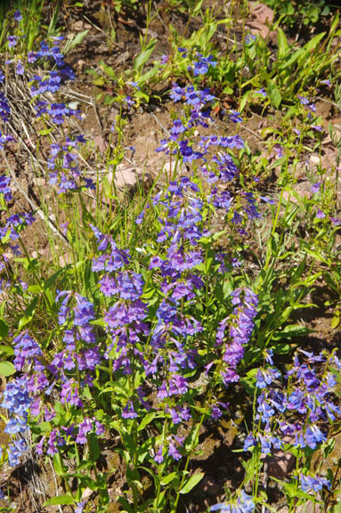 Penstemon albertinus