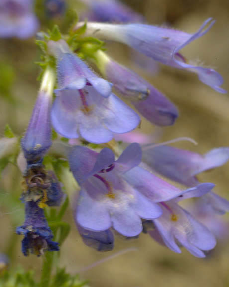 Penstemon wilcoxii