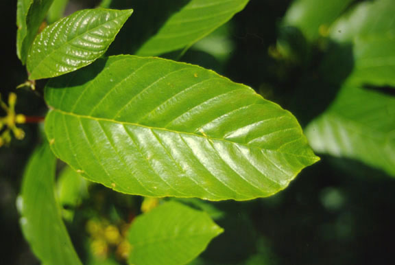 Rhamnus purshiana