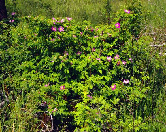 Rosa woodsii v. ultramontana - Wood's rose