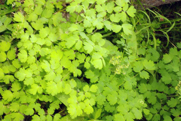 Thalictrum occidentale