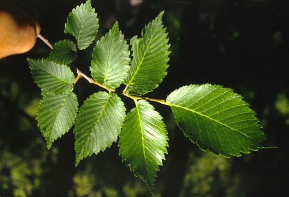 Scientific name list by common name ulmus americana american elm
