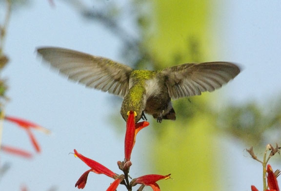 Costas hummingbird (female)