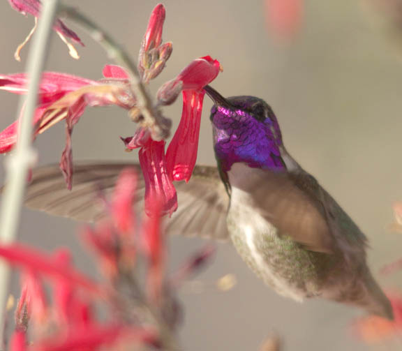 Costas hummingbird (male)