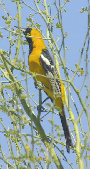Hooded oriole (male)