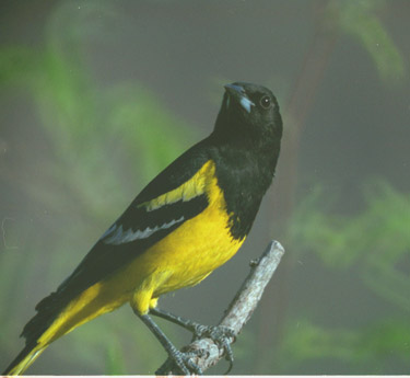 Scott's oriole (male)
