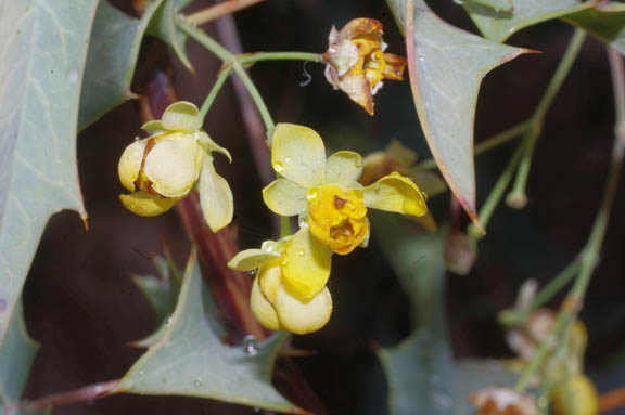 Berberis harrisoniana