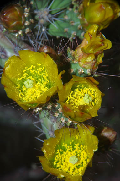Cylindropuntia versicolor
